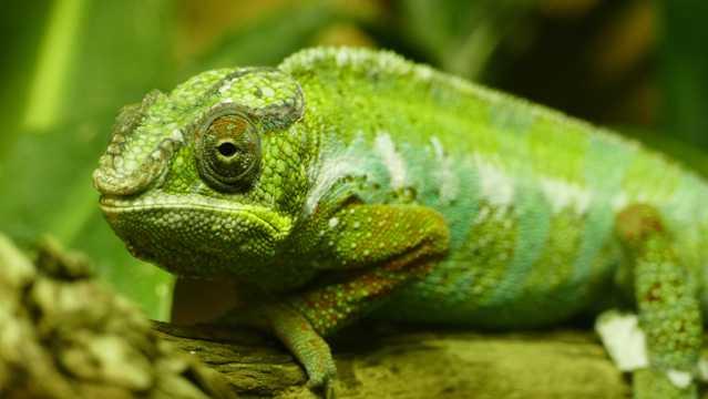 绿色变色龙特写图片