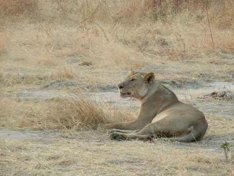 非洲母狮子图片