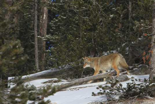 树林里的郊狼