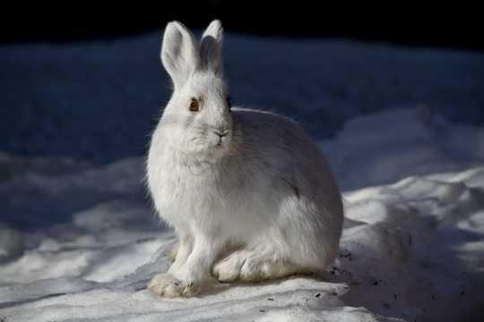 雪地里的雪兔