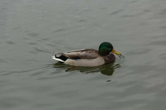 青海湖绿头鸭图片