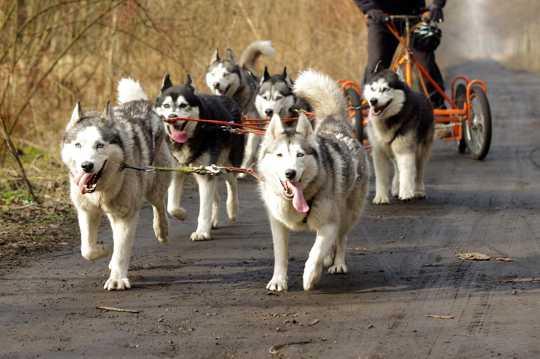 一群雪橇犬图片