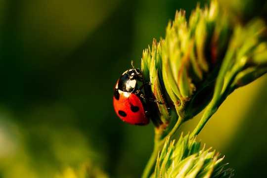 微距下的可爱瓢虫