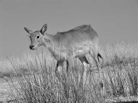 沼泽羚羊黑白图片