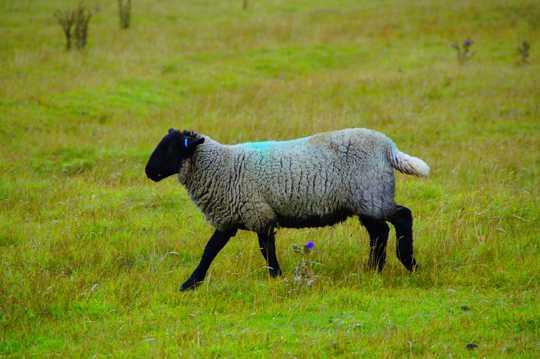 一只苏格兰绵羊图片