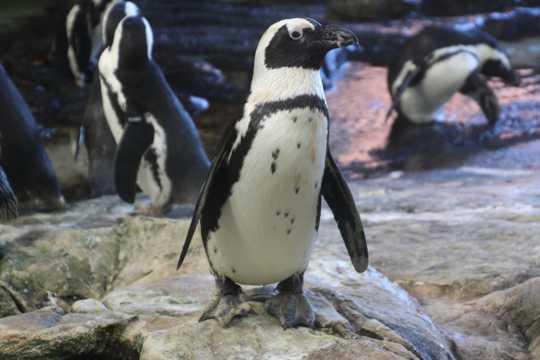 非洲黑脚企鹅图片