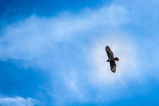 天空中遨游的雄鹰