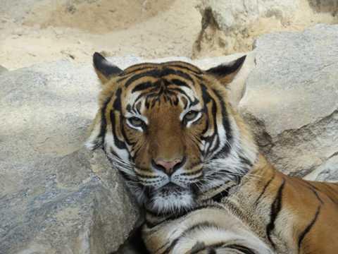 在休憩的大老虎