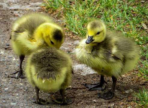 三只呆萌的小鸡