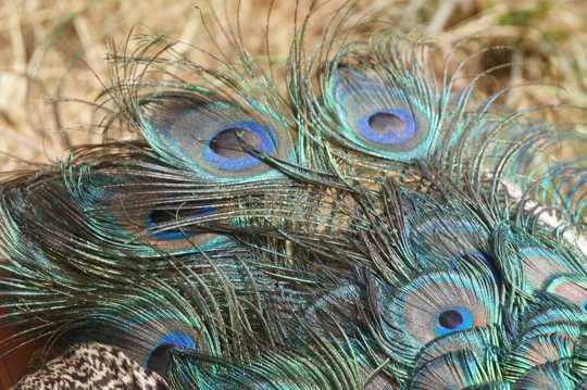 光鲜的孔雀羽毛图片