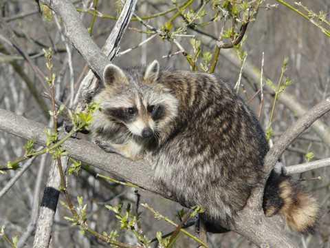 树枝上的浣熊