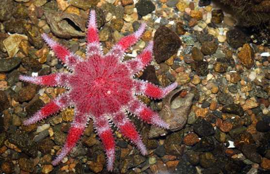 红色海星图片