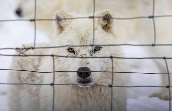 帅气白色雪狼