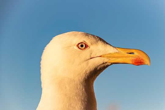 海鸥头部特写图片