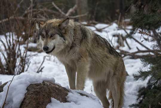 雪地里的一头野狼