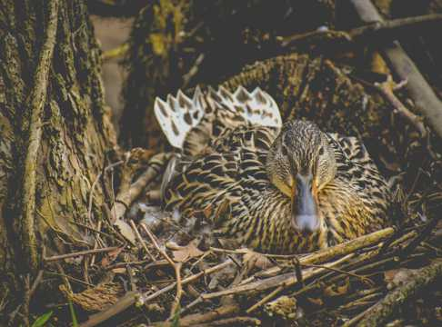 家禽鸭巢图片