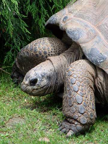 正在爬行的旱龟
