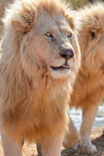 帅气凶猛雄狮