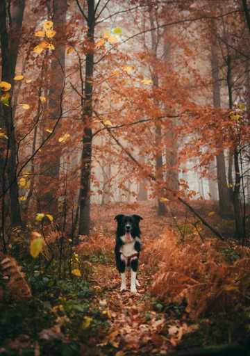 边牧犬可人写真图片