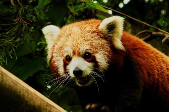 小熊猫萌萌哒图片
