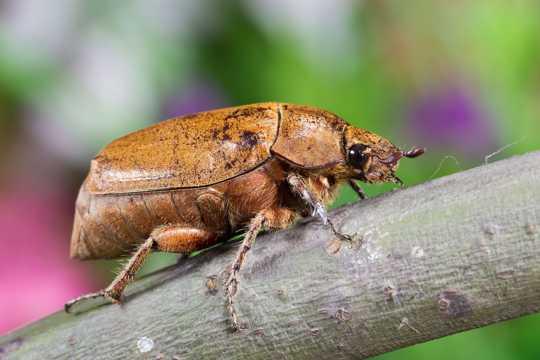 甲虫微距图片