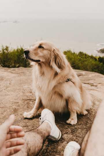 白色英系金毛犬