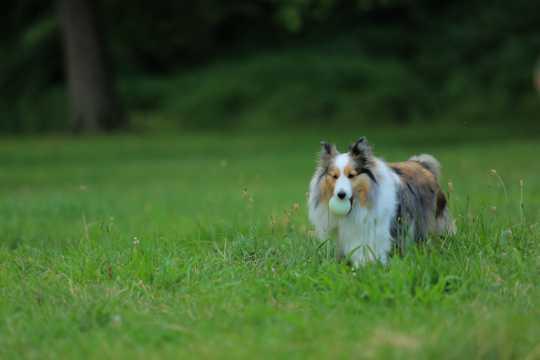 纯种苏格兰牧羊犬