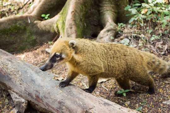 生态公园浣熊图片