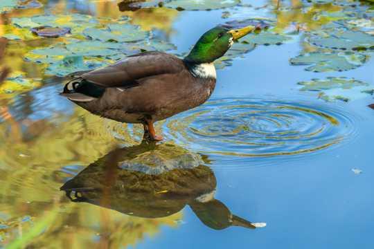 一只绿头鸭高清图片