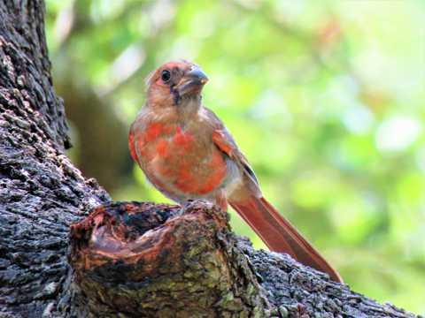 枝头上红色的交嘴雀