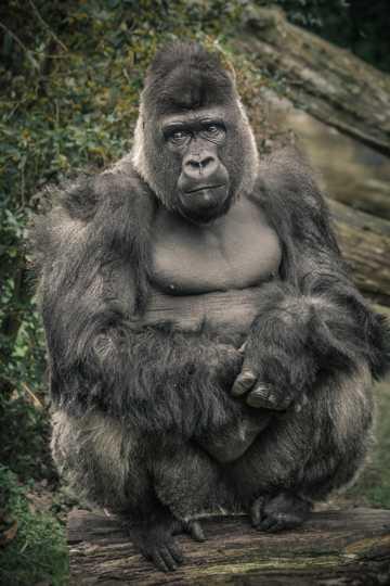 黑猩猩金刚图片