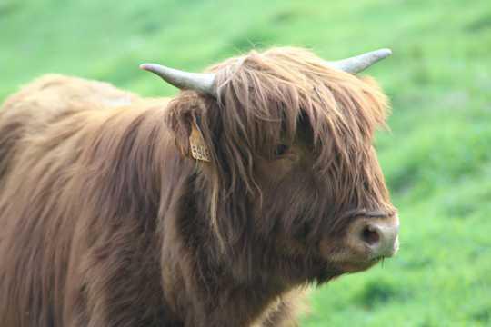 草场上的牦牛
