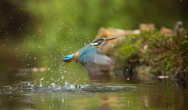 体态轻快的翠鸟图片
