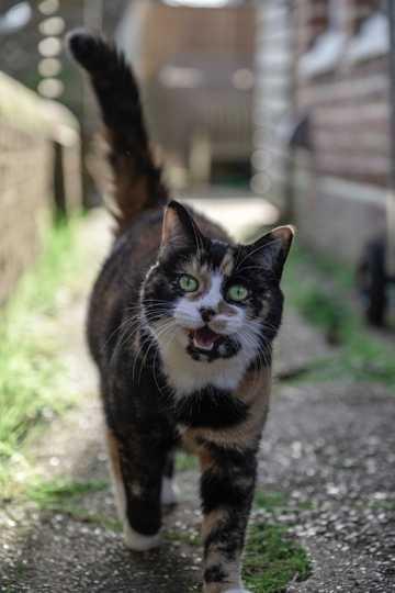 乖巧玳瑁猫图片
