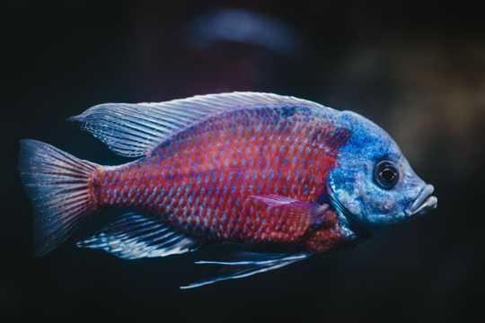 热带淡水欣赏鱼图片