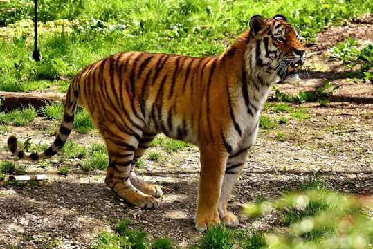 动物园小老虎图片