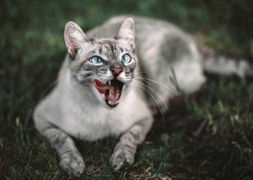 灰色短毛狸花猫图片