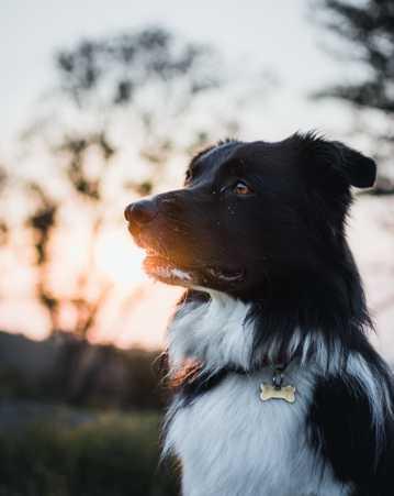 边境柯利牧羊犬图片