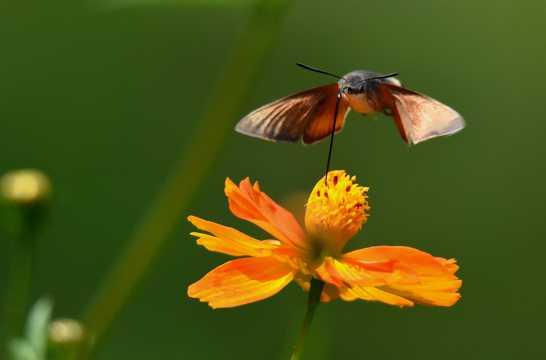 采花蜜的蜂鸟鹰蛾图片