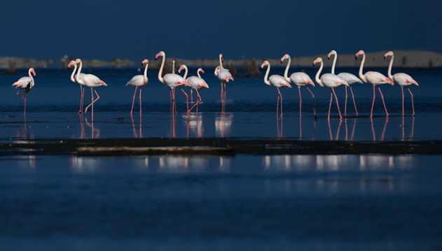 水边火烈鸟群图片