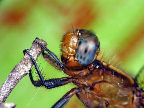 柔光下的蜻蜓图片