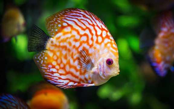 小型热带欣赏鱼图片