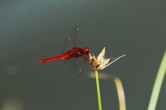 红蜻蜓高清图片