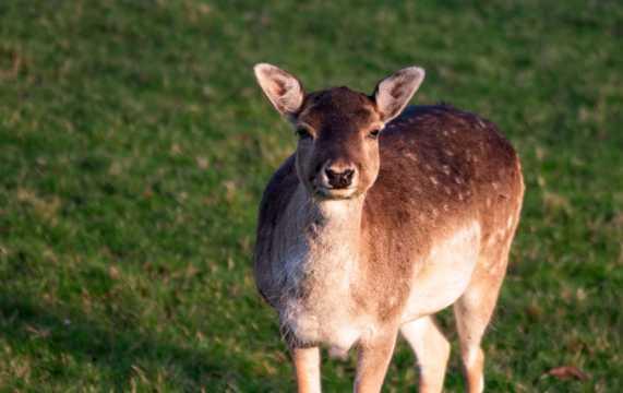 草坪上的呆萌小鹿