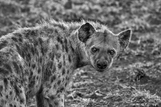 非洲斑鬣狗图片