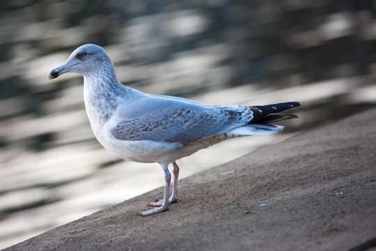 海鸥图片高清