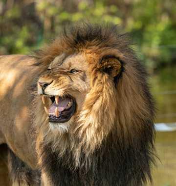 帅气威风的雄狮