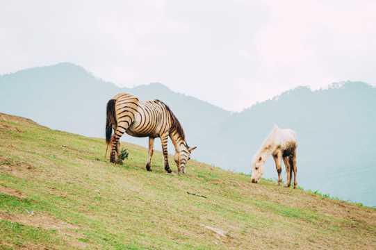 山坡上吃草的马儿图片