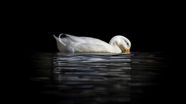 孤单的天鹅