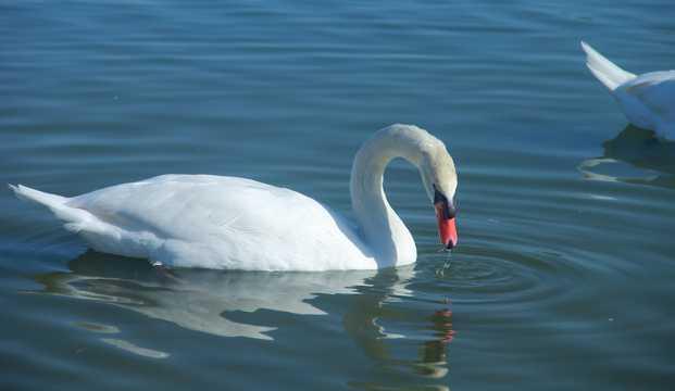 大白天鹅湖面浮水